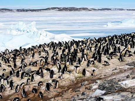 Adelie penguins at Davis Station.