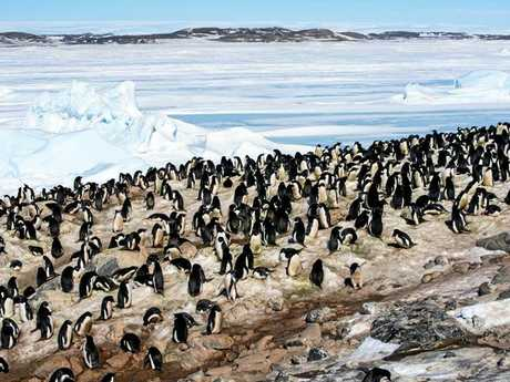 Adelie penguins at Davis Station.