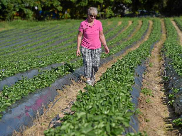 Lillian McMartin examines a bumper crop at the family's strawberry farm.