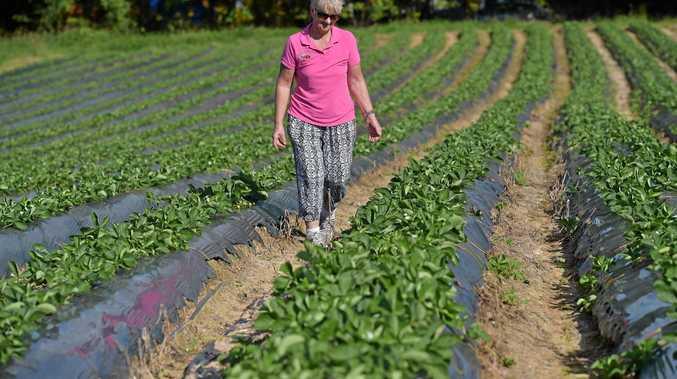 Lillian McMartin examines a bumper crop at the family's strawberry farm.