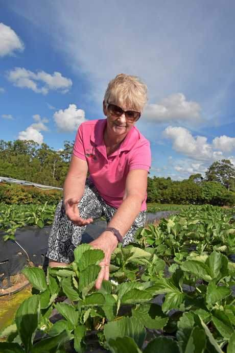 Lillian McMartin examines strawberry plants on the family's Bli Bli farm.