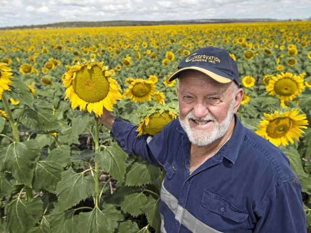 Australian Sunflower Association chariman Kevin Charlesworth in his sunflower field near Clifton, Friday, January 06, 2017.