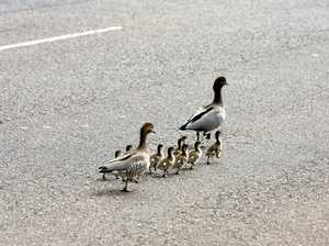 How a cute family of ducks caused a three-car crash