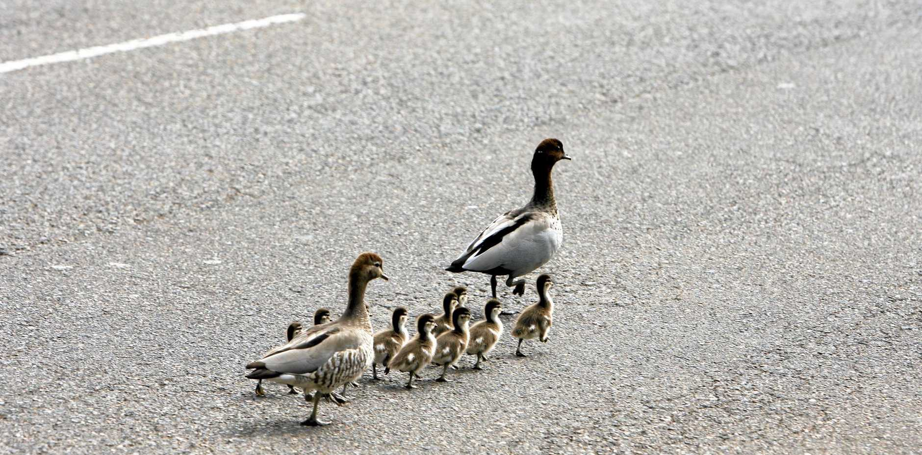 A driver who stopped to let a mother duck and her ducklings cross the Bruxner Highway caused a three-car crash. File photo.