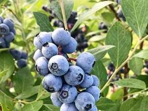 Coffs Coast to yield a bumper blueberry crop