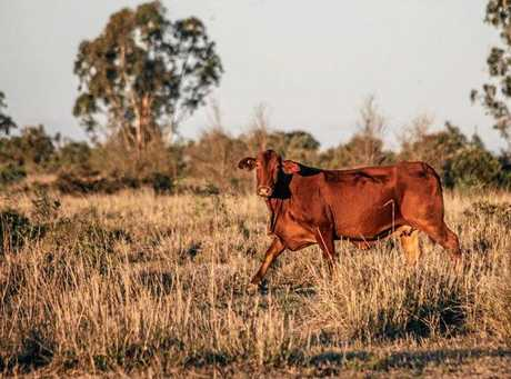 Droughtmaster cattle, Ulcanbah Station