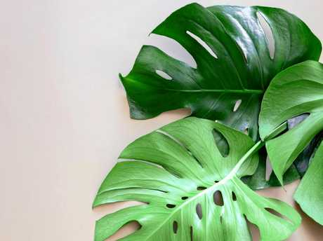 No two leaves of the Monstera plant are the same.