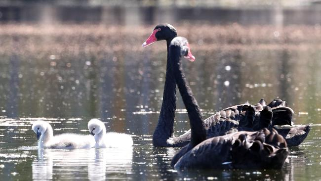 Gold Coast Bulletin only Please check with Picture Editor before use. Birds are breeding at Black Swan Lake. Photo by Richard Gosling