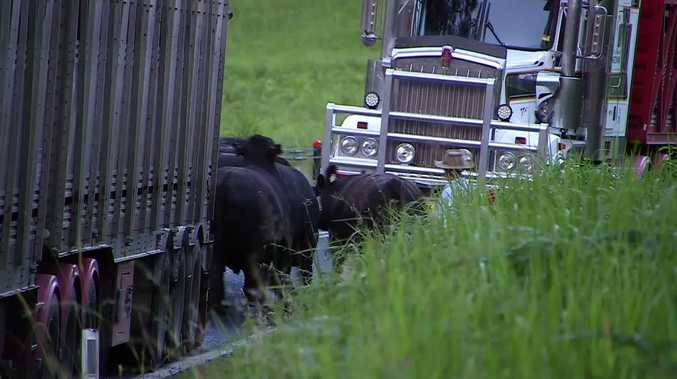 The surviving cattle following the double-fatal truck accident at Jackadgery.