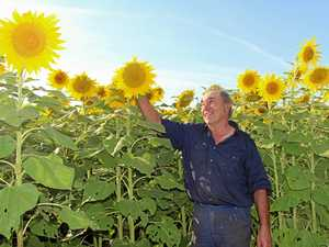 Norm Kerle's sunflowers brighten the valley