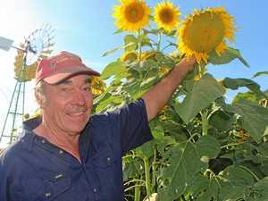 Stellar sunflowers dazzle farmer and visitors