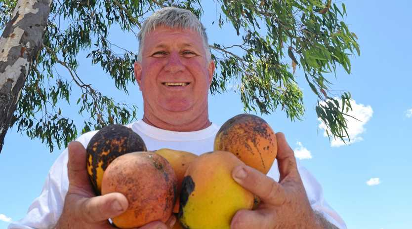 RIPE SOLUTION: Brian Burton's free giveaway of B grade mangoes has become an advertising bonanza for his Anderleigh property.