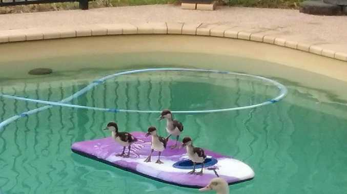 IT'S HOT: A family of ducks cools off in a Sarina backyard.
