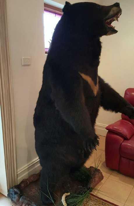 A mounted skin of an Asiatic Black Bear, seized from the Norwood home of Terry Dalkos. Picture: Commonwealth Department of the Environment and Energy