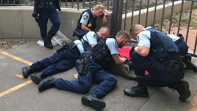 Police officers pin down a kangaroo found bouncing along Sydney Harbour Bridge Picture: John Grainger