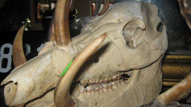 A babirusa, or deer pig, skull seized from the home of Terry Dalkos by the federal Department of the Environment and Energy. Picture: Supplied.