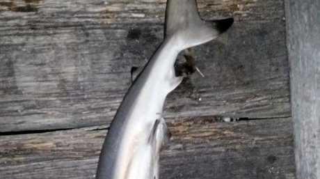 December 21, 2017  - 75cm Black Tip Shark at Urangan Pier.