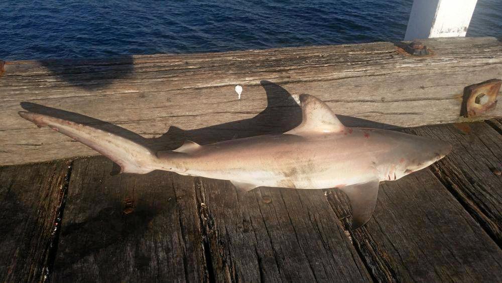December 7, 2017 · - 78cm Black Tip Shark at Urangan Pier.