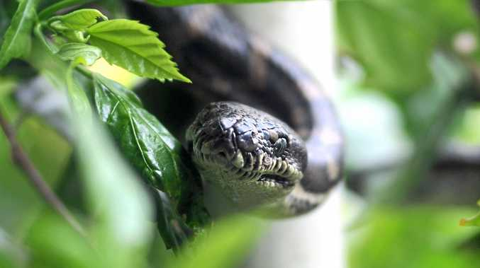 UNWELCOME GUEST: A woman was shocked to find a carpet snake in her kitchen cupboard.