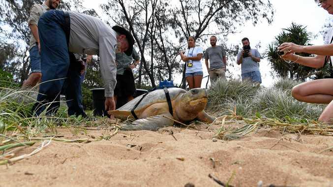 Flatback turtle Wave Rider being released last year.
