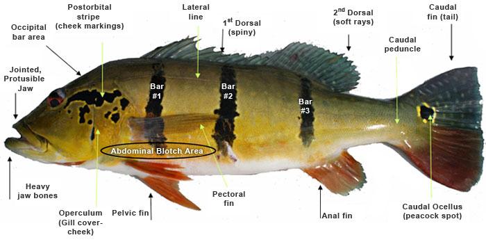 Peacock Bass ID guide