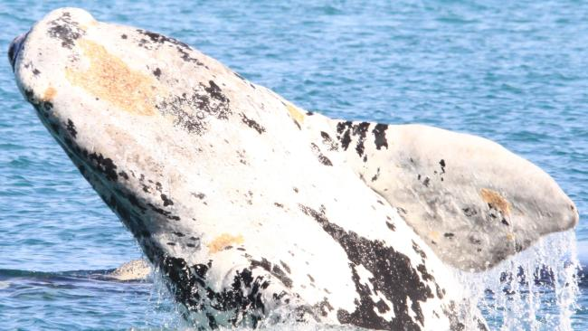 A rare Southern right whale calf at Fowlers Bay. Picture: Fowlers Bay Eco Tours.
