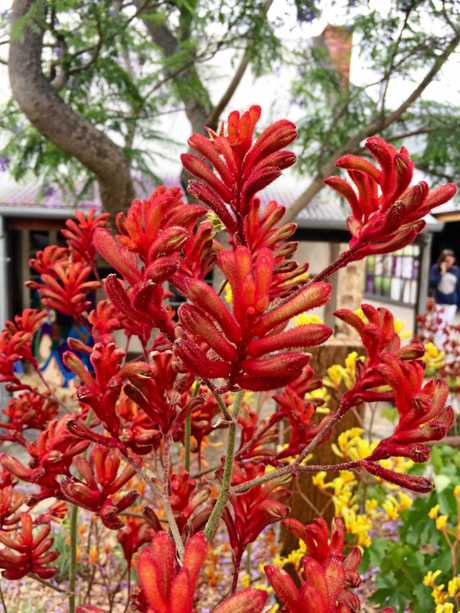 Kangaroo paw in Tanunda which has loads of shops and great restaurants.