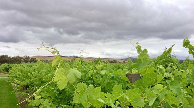 Grapes ripening on the vine in the Barossa in South Australia.