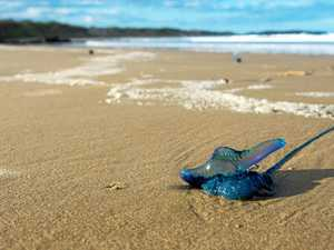 Coast escapes worst of bluebottle armada