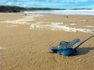 Coast escapes worst of bluebottle armada