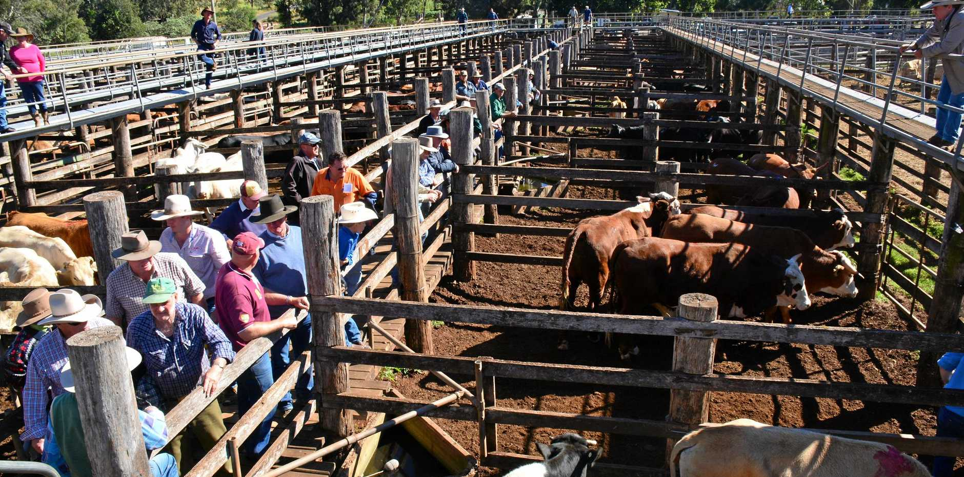 COOLABUNIA SALEYARDS: Cattle sold to a good market at the prime and store sales this week. Photo Kate Darvall/ South Burnett Times