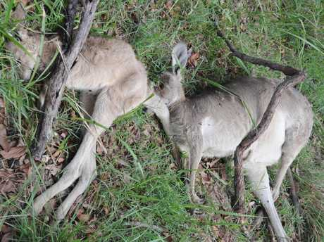 Slaughtered kangaroos at Booral.