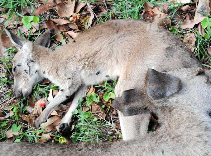 An former police officer was punished by QPS after 20 kangaroos were slaughtered at Booral.
