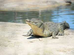 Crocodile sighting at Gundiah reported