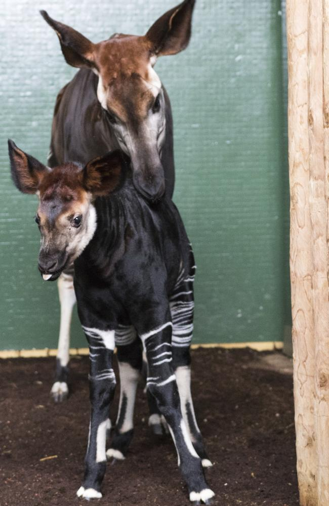 London zoo named this baby okapi Meghan, this week. Picture: Zoological Society of London via AP