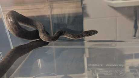The spotted python which slithered into Adele Mallard‎'s bed. Photo Adele Mallard‎