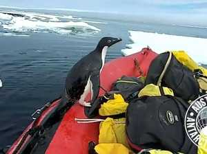 Penguin drops by for quick visit in Antarctica