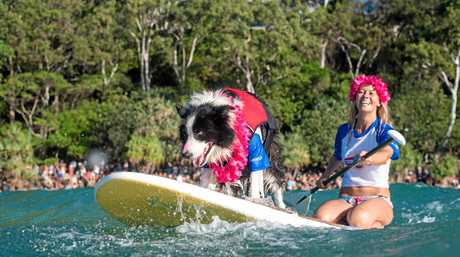 HOT DOGGING IT: Surfing dogs are a huge hit at Noosa Festival of Surfing.