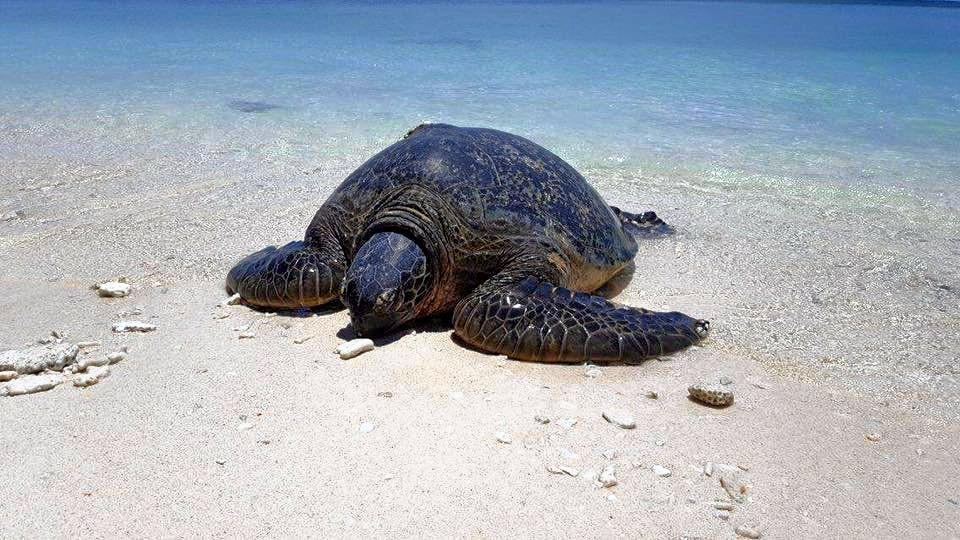 BUMPER SEASON: A turtle comes ashore on Lady Musgrave Island to nest. Photo Contributed