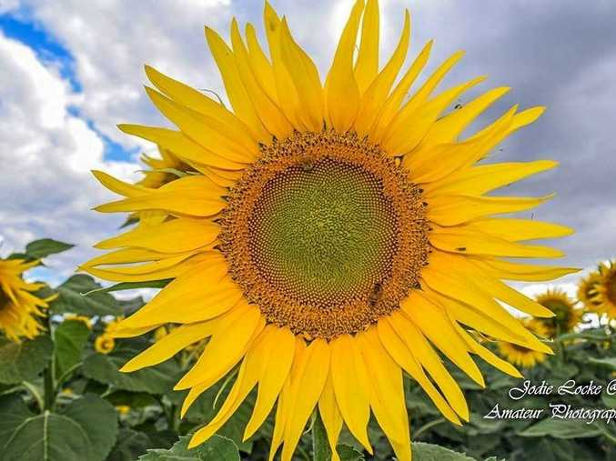 STUNNING: Jodie Locke loves sunflower season in Warwick and submitted this picture of a beautiful bloom.