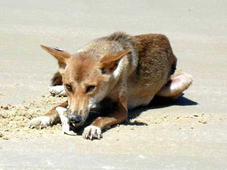 A dingo on the beach at Fraser Island. Photo Contributed