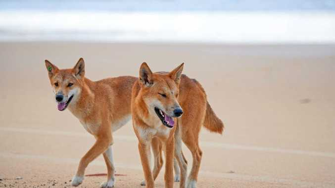 ENDANGERED: Experts believe pure bred dingoes could soon become extinct.