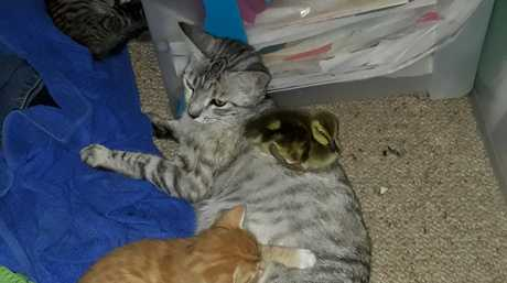 Kitty the duck, with her adoptive family, at Homebush Farm, Greenup. Kitty thinks she is a cat.