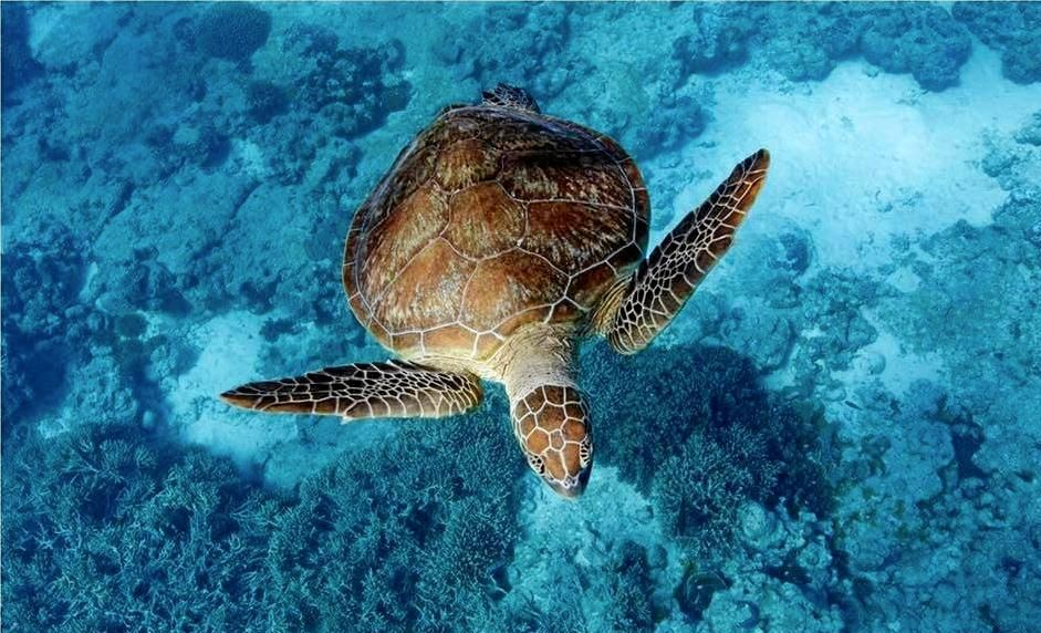 BEAUTY: Tracy Olive captured this photo of a turtle swimming at Lady Musgrave Island.