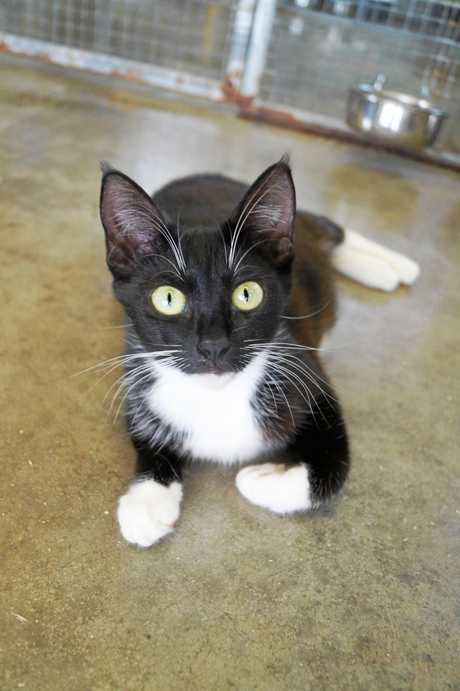 BonBon is a playful young manx who loves to smooch and would make a great family pet.