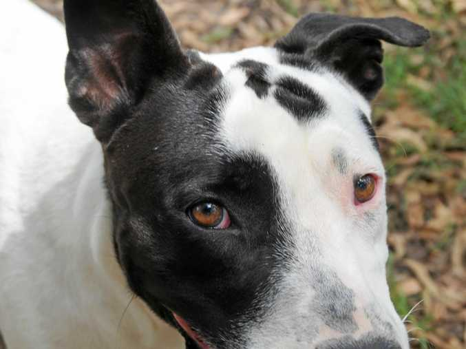 Chisel is a nice young dog with good manners, looking for someone to give him lots of kisses.