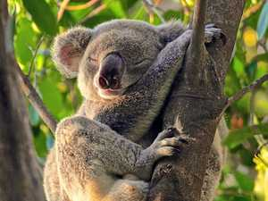 Greens call on council to reconsider stance on koala park