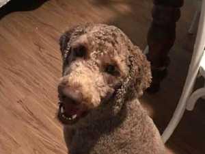 Barking dog shot in head with spear gun
