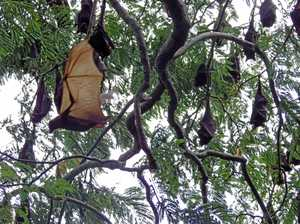 Presence of red bats divide opinions