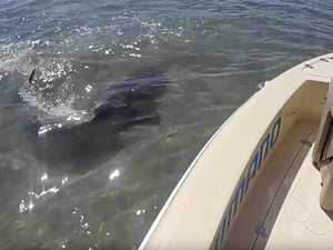 WATCH: 3m cannibal shark feasts on shark off Fraser Island